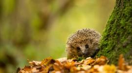 Autumn Hedgehog Wallpaper