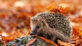 Autumn Hedgehog Wallpaper For Desktop