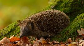Autumn Hedgehog Wallpaper For Mobile