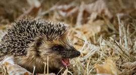 Autumn Hedgehog Wallpaper For PC