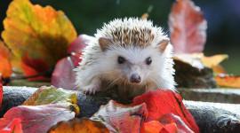Autumn Hedgehog Wallpaper Full HD