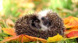 Autumn Hedgehog Wallpaper Gallery