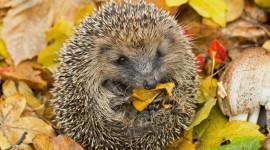 Autumn Hedgehog Wallpaper HQ