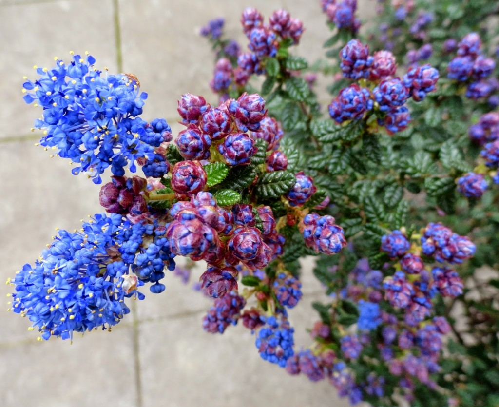 Ceanothus wallpapers HD