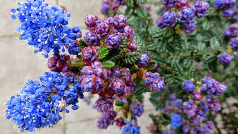 Ceanothus wallpapers high quality