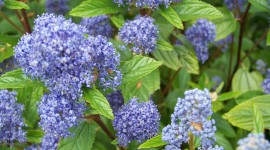 Ceanothus Desktop Wallpaper For PC