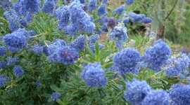 Ceanothus Photo Download