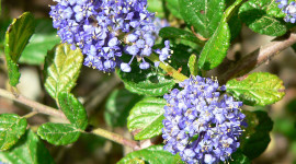 Ceanothus Picture Download