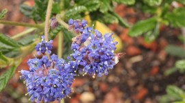 Ceanothus Wallpaper Download