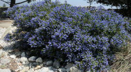 Ceanothus Wallpaper Download Free
