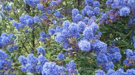Ceanothus Wallpaper For Android