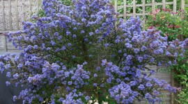 Ceanothus Wallpaper For Desktop