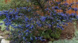 Ceanothus Wallpaper For IPhone