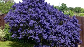Ceanothus Wallpaper For IPhone Free