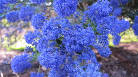 Ceanothus Wallpaper For PC