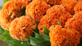 Celosia Wallpaper For IPhone Free