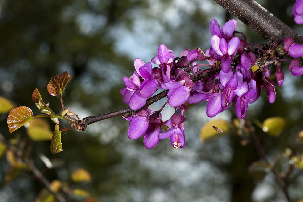 Cercis wallpapers HD