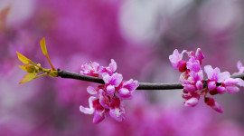 Cercis Picture Download
