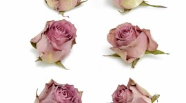 Dried Rose Wallpaper For Android