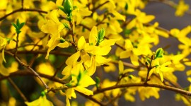 Forsythia Aircraft Picture