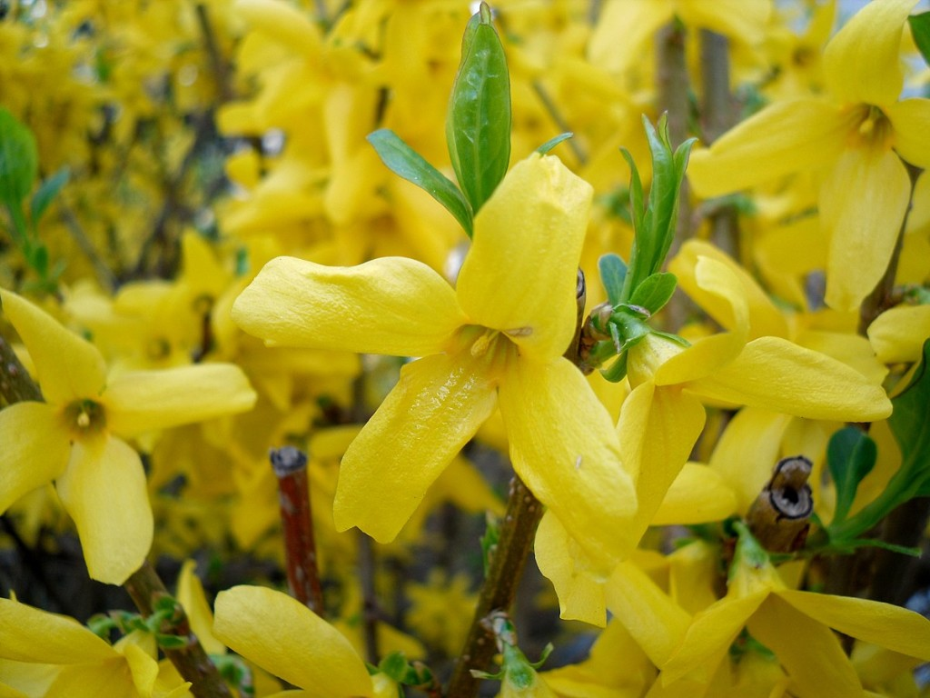 Forsythia wallpapers HD