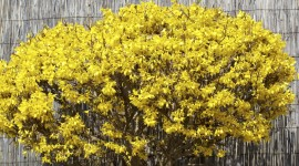 Forsythia Picture Download