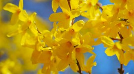 Forsythia Wallpaper For Android