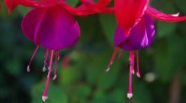 Fuchsia Flower Photo Download