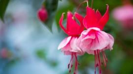 Fuchsia Flower Photo Free