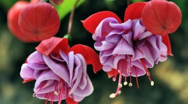 Fuchsia Flower Wallpaper Download