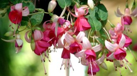 Fuchsia Flower Wallpaper For Desktop