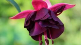 Fuchsia Flower Wallpaper For Mobile