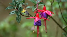 Fuchsia Flower Wallpaper For PC