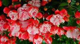 Fuchsia Flower Wallpaper Free