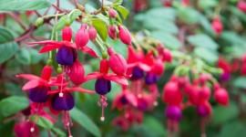 Fuchsia Flower Wallpaper Gallery