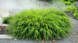 Hakonechloa Picture Download