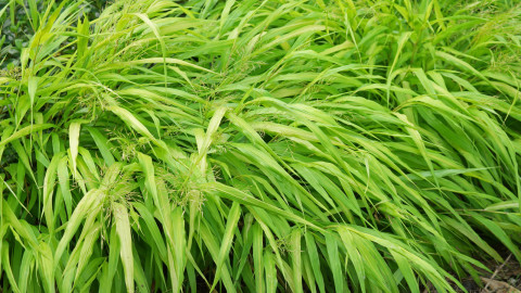 Hakonechloa wallpapers high quality