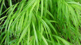Hakonechloa Wallpaper For Android