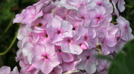 Phlox Desktop Wallpaper HD