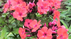 Phlox Photo Download