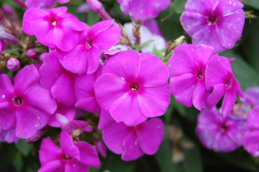 Phlox wallpapers HD