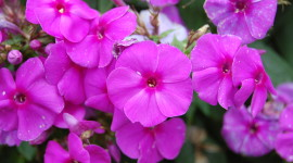 Phlox Wallpaper