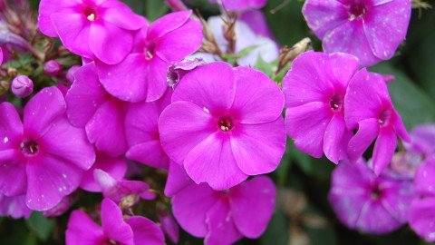 Phlox wallpapers high quality
