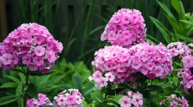 Phlox Wallpaper Download