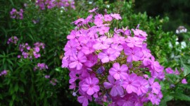 Phlox Wallpaper Download Free