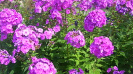 Phlox Wallpaper Free