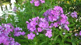 Phlox Wallpaper Full HD
