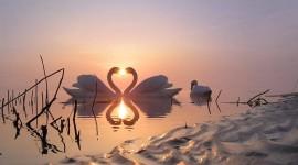 Swans Love Best Wallpaper
