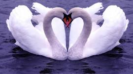 Swans Love Desktop Wallpaper