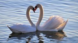Swans Love Photo